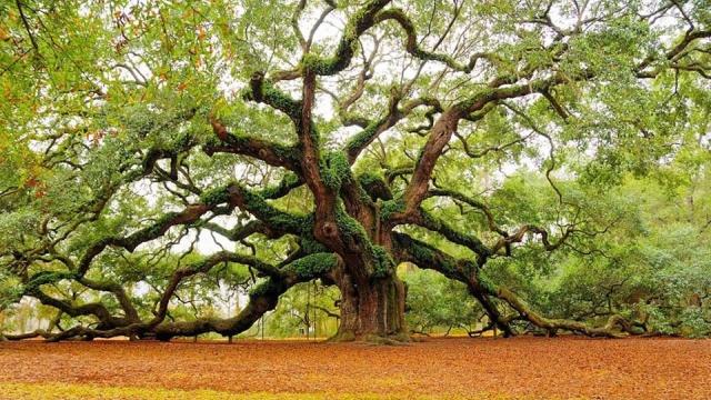 Βελανιδιά (Oak) 11407110