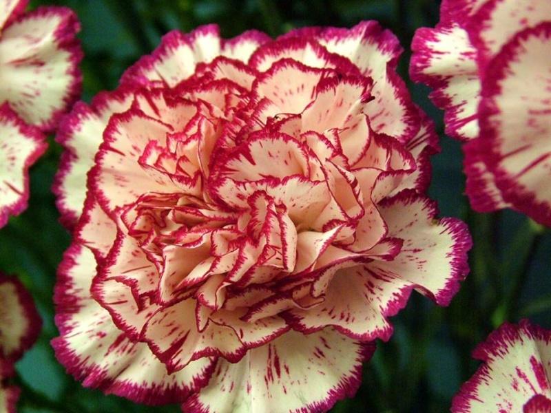 Γαρύφαλλο (Carnation) 11880610