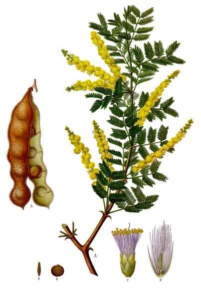 Ακακία (Acacia)  Acacia10