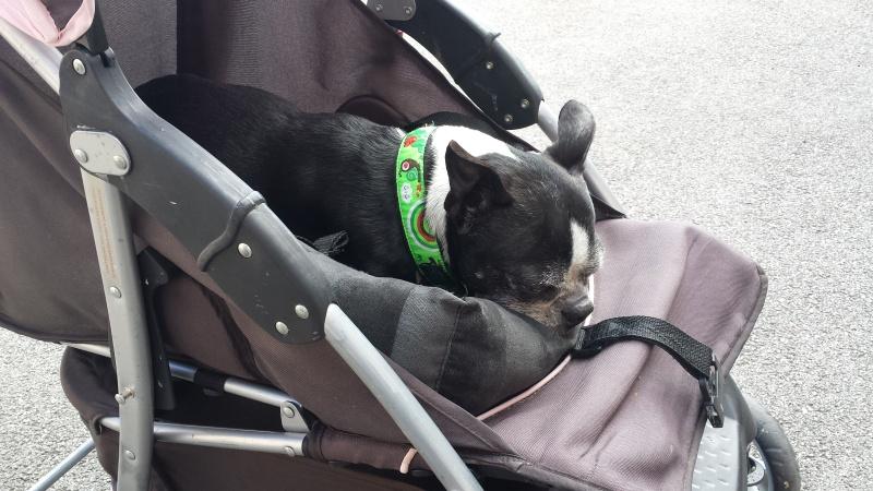 Modes de transport pour petits / vieux chiens qui fatiguent vite - Page 7 20160410