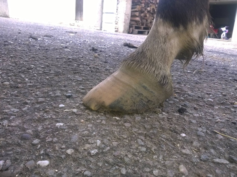parage ane, mulet, bardot, chevaux - Page 2 Pieds_12