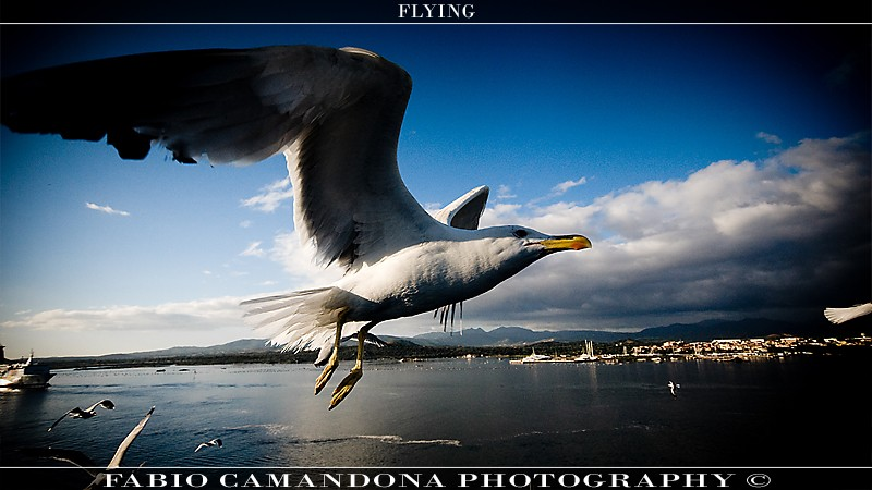 gabbiano Flying10