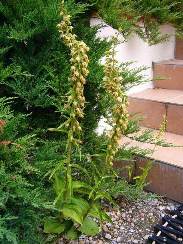 Que suis je? Une orchidée...? 00517