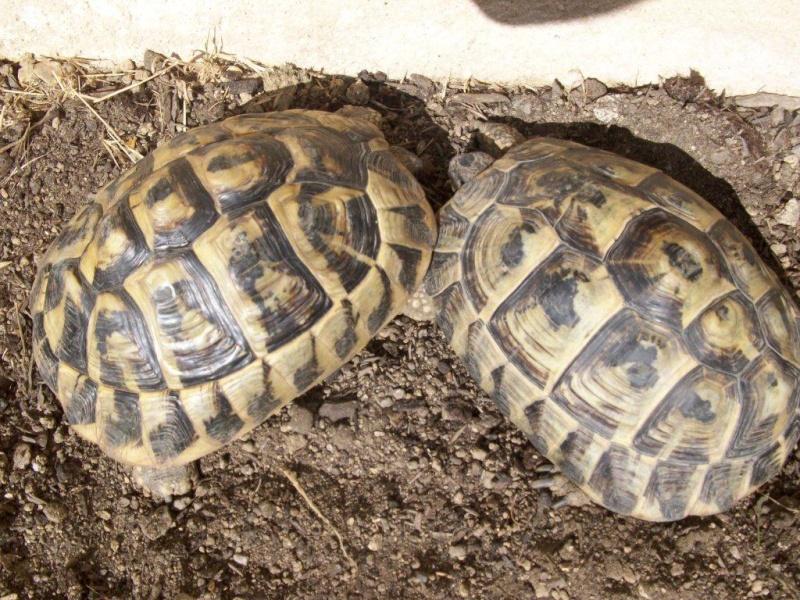 identification de ma tortue BOETTGERI? Lulu_022