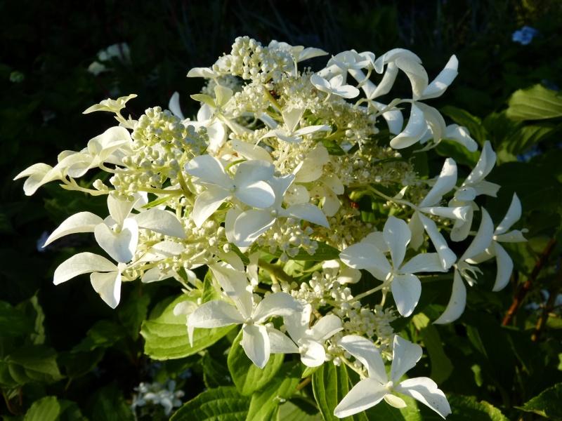 Hydrangea Paniculata Levana P1000410