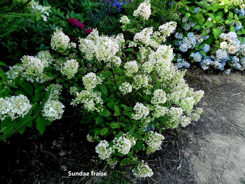Hydrangea paniculata Sundae Fraise P1070282