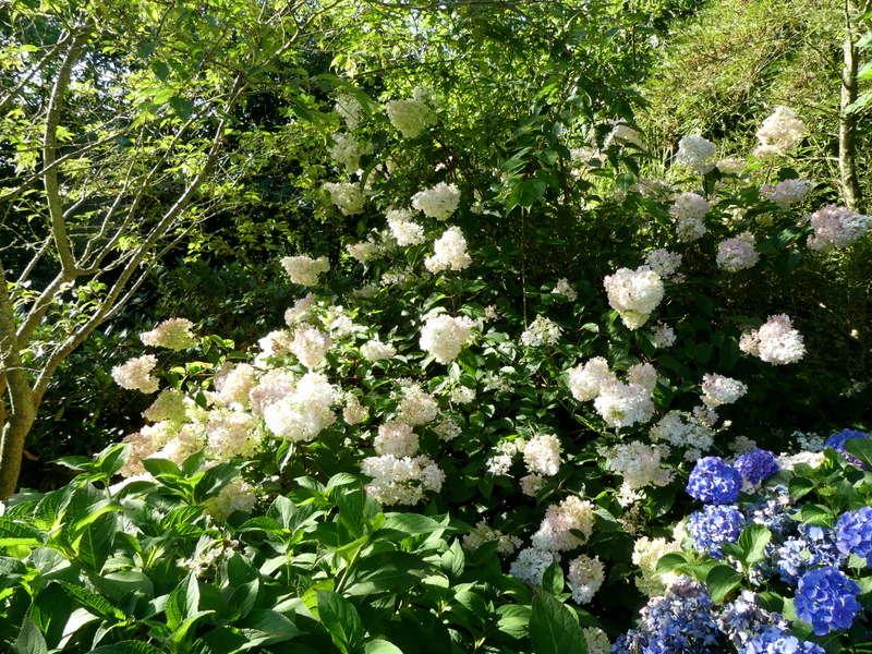 Hydrangea paniculata Vanille et Fraise ( Vanilla Strawberry ) - Page 3 P1070283