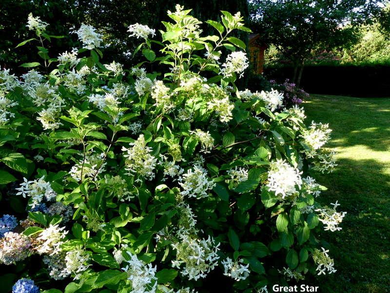 Hydrangea paniculata Vanille et Fraise ( Vanilla Strawberry ) - Page 3 P1070284