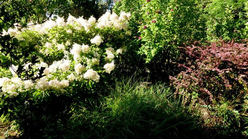 Hydrangea paniculata Vanille et Fraise ( Vanilla Strawberry ) - Page 3 P1070310