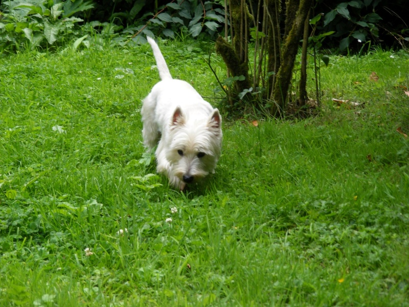 WEST WESTIE 3 ANS 1/2 - Page 2 Chasse10