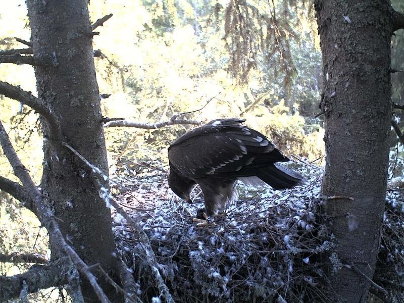 Estonian Lesser Spotted Eagles 2013 ~ Eha & Koit - Page 23 2013-450