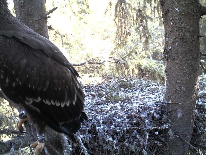 Estonian Lesser Spotted Eagles 2013 ~ Eha & Koit - Page 23 2013-451