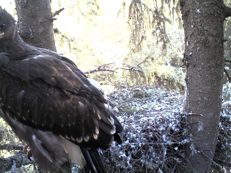 Estonian Lesser Spotted Eagles 2013 ~ Eha & Koit - Page 23 2013-452