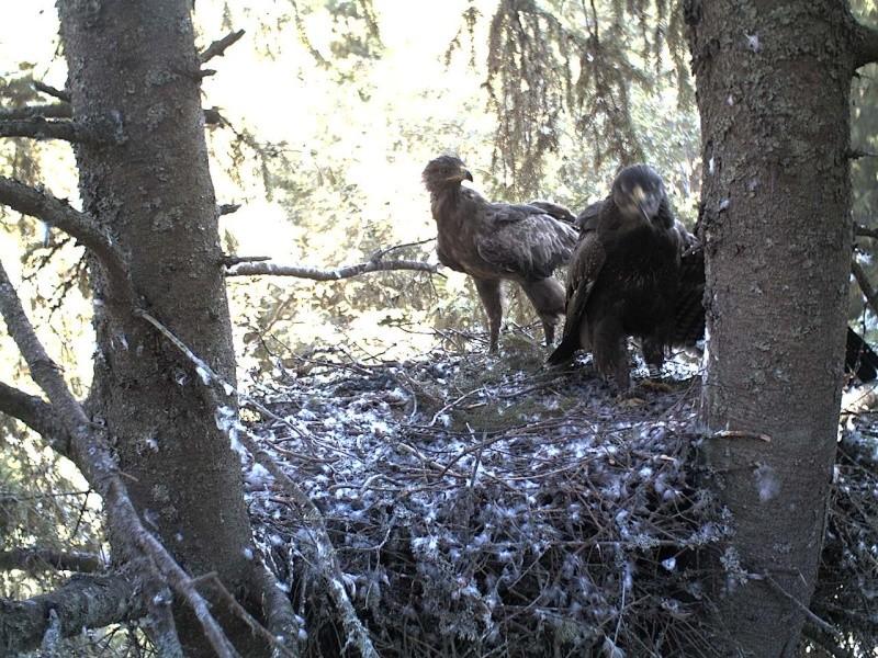 Estonian Lesser Spotted Eagles 2013 ~ Eha & Koit - Page 23 2013-453