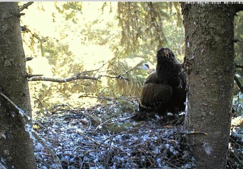Estonian Lesser Spotted Eagles 2013 ~ Eha & Koit - Page 23 Jjbccc11