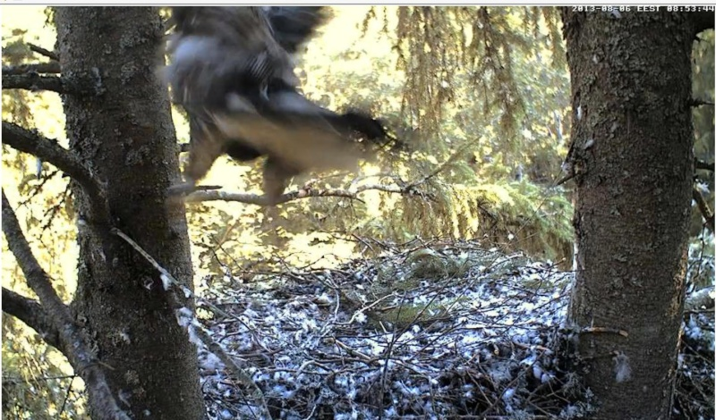 Estonian Lesser Spotted Eagles 2013 ~ Eha & Koit - Page 23 Jjcccj12