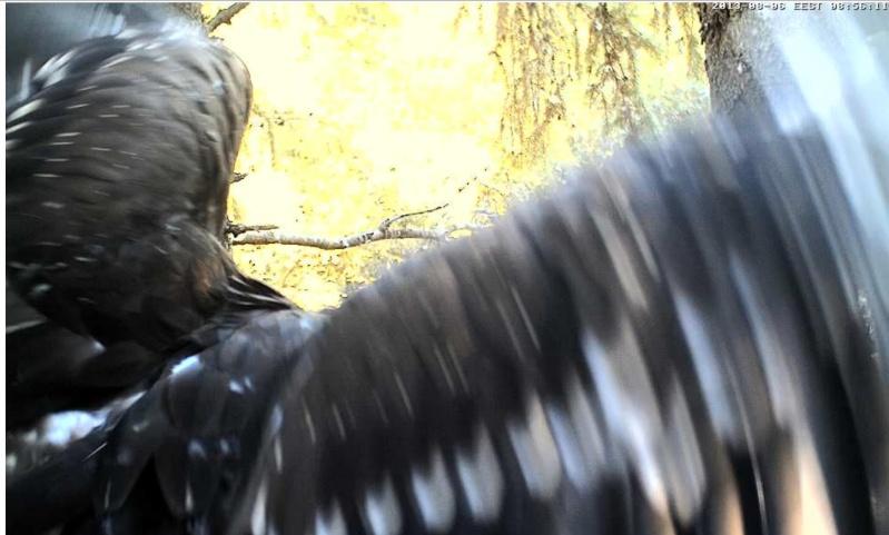 Estonian Lesser Spotted Eagles 2013 ~ Eha & Koit - Page 23 Jjcccj14