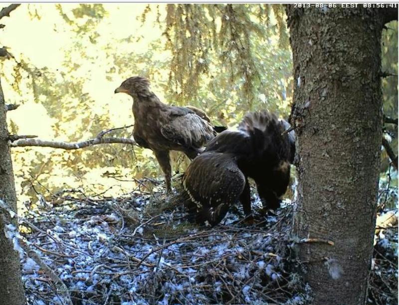 Estonian Lesser Spotted Eagles 2013 ~ Eha & Koit - Page 23 Jjcccj15