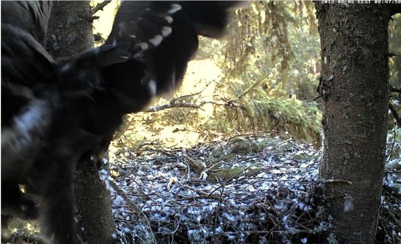 Estonian Lesser Spotted Eagles 2013 ~ Eha & Koit - Page 23 Kaaa11
