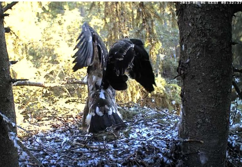 Estonian Lesser Spotted Eagles 2013 ~ Eha & Koit - Page 23 Kaaaab10