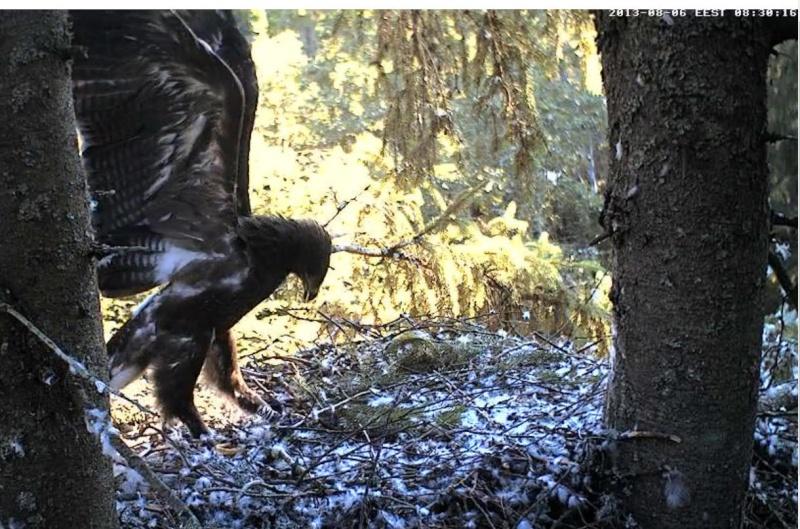 Estonian Lesser Spotted Eagles 2013 ~ Eha & Koit - Page 23 Kaaabb22
