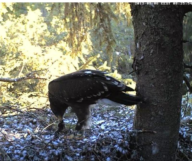 Estonian Lesser Spotted Eagles 2013 ~ Eha & Koit - Page 23 Kabbbc16