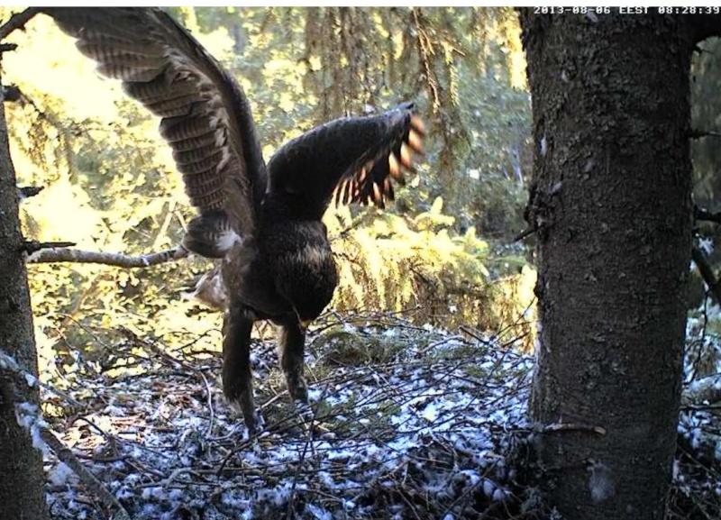 Estonian Lesser Spotted Eagles 2013 ~ Eha & Koit - Page 23 Kabbbc17