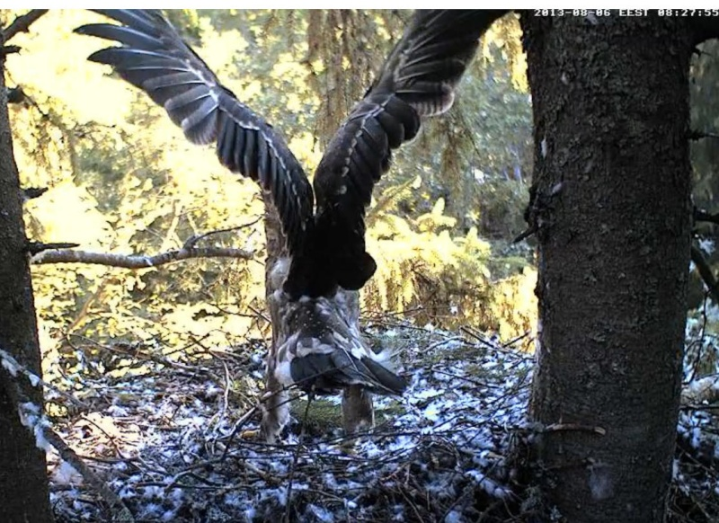Estonian Lesser Spotted Eagles 2013 ~ Eha & Koit - Page 23 Kbbbcc13