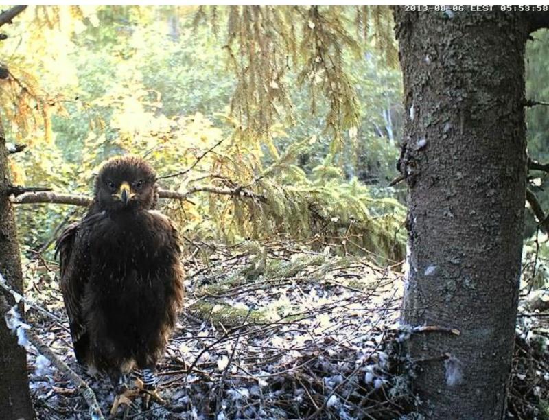 Estonian Lesser Spotted Eagles 2013 ~ Eha & Koit - Page 23 Kcckaa17