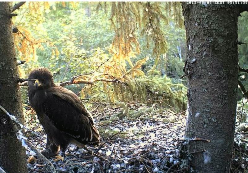 Estonian Lesser Spotted Eagles 2013 ~ Eha & Koit - Page 23 Kckaaa14