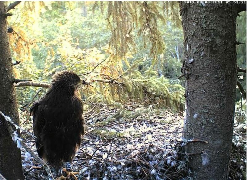 Estonian Lesser Spotted Eagles 2013 ~ Eha & Koit - Page 23 Kckaaa15
