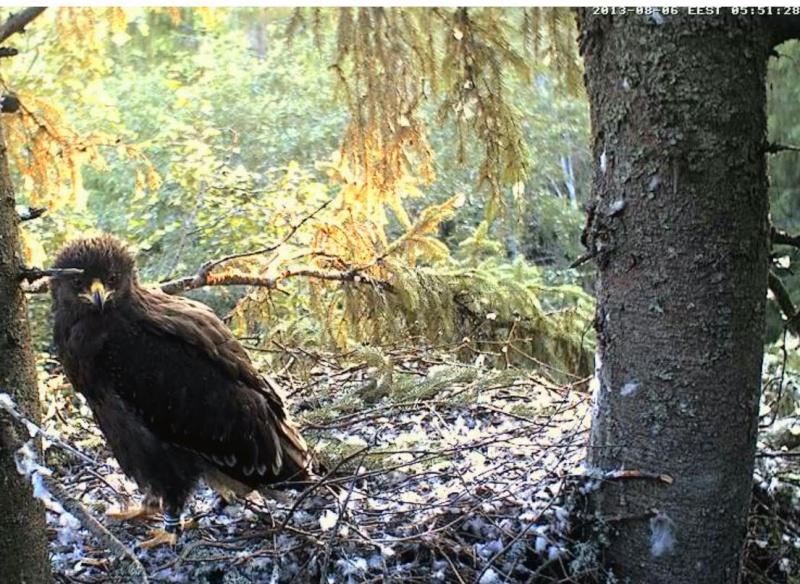 Estonian Lesser Spotted Eagles 2013 ~ Eha & Koit - Page 23 Kkaaab16