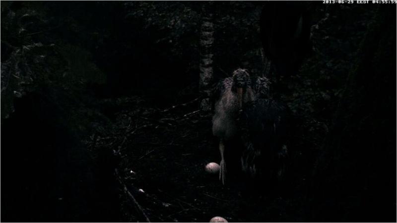 Black Stork ~ Tiit & Tiina ~ 2013 - Page 2 Raaabb10