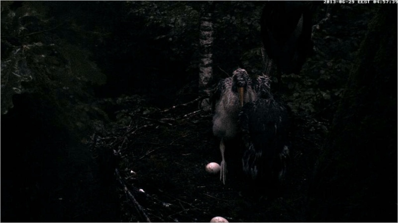 Black Stork ~ Tiit & Tiina ~ 2013 - Page 2 Raaabb11