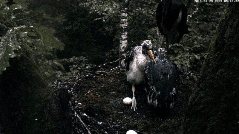 Black Stork ~ Tiit & Tiina ~ 2013 - Page 2 Raaabb13