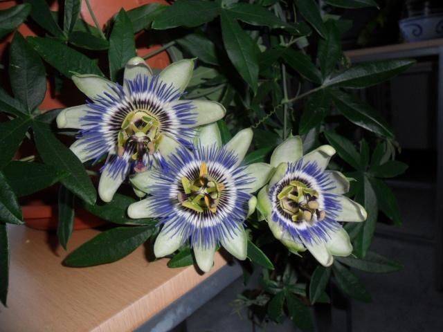 Quelques plantes d'intérieur... Sam_1326