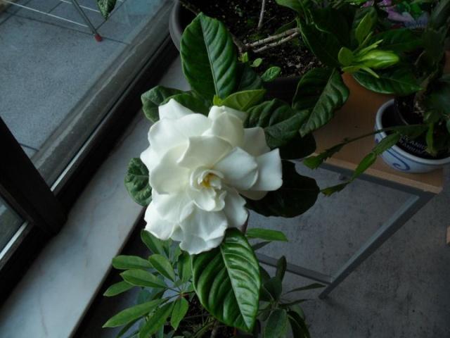 Quelques plantes d'intérieur... Sam_1327