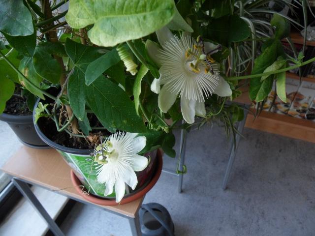 Quelques plantes d'intérieur... Sam_1329