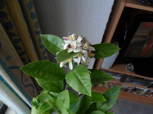 Quelques plantes d'intérieur... Sam_1425