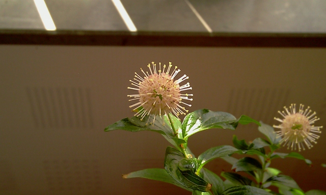 Has anyone else trid ButtonBUSH (Cephalanthus occidentalis) Imag0213