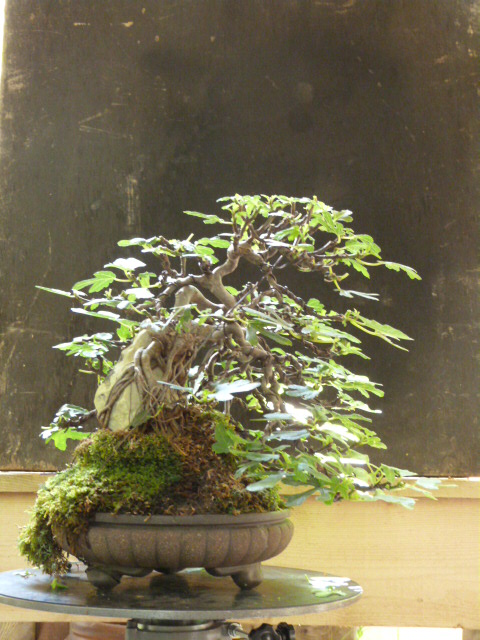 ficus carica on stone...3 years of evolution - Page 2 P1130320