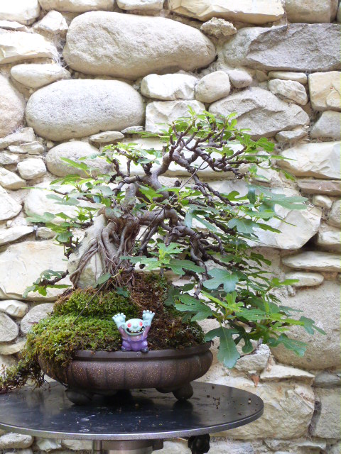 ficus carica on stone...3 years of evolution - Page 2 P1130425