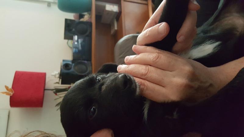 COSMO, chiot mâle, né en mars 2016 - Pascani - adopté par Priscillia (dep 31) - Page 2 20160813