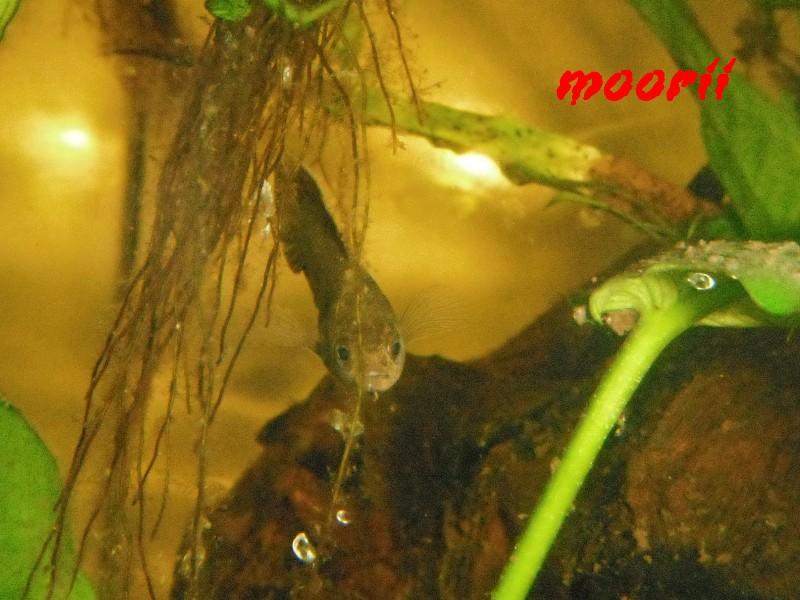 Microctenopoma ansorgii 6610