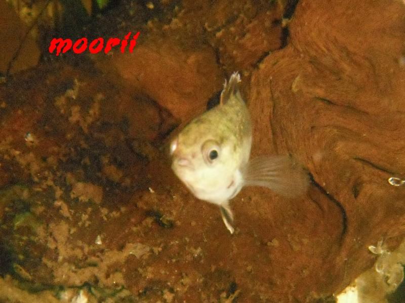 Microctenopoma ansorgii 7510