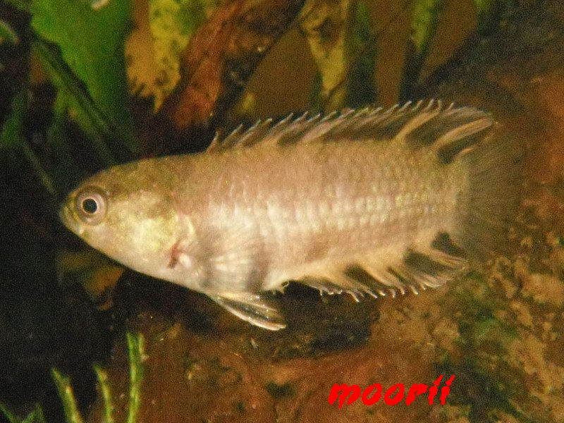 Microctenopoma ansorgii 7710