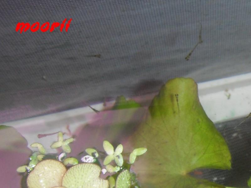 Tateurndina ocellicauda - Page 3 9910