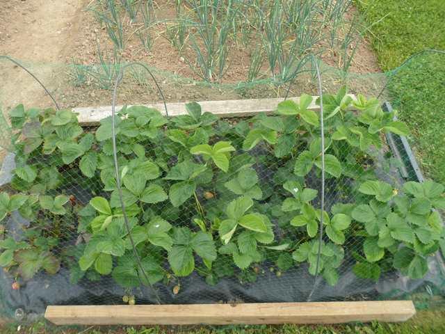 Les feuilles de mes fraisiers Sam_3126