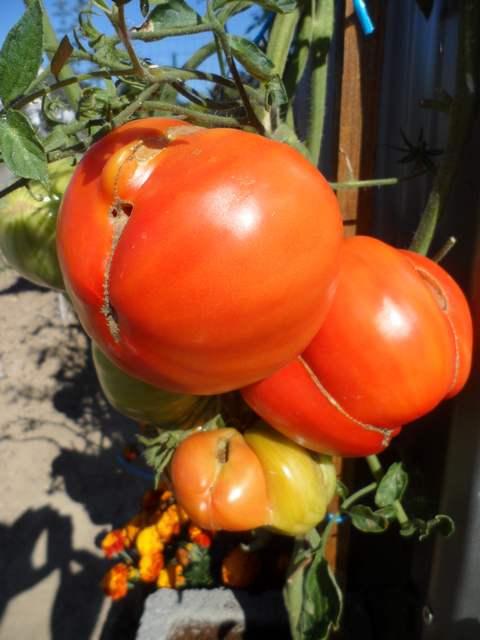 Tomates - Page 38 Sam_3219