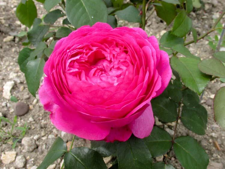 Bonjour, bonsoir, vos humeurs du jour  ;) - Page 5 Rose_t10